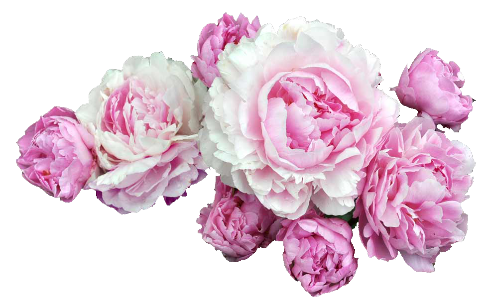 Peony flower png. Transparent tumblr pesquisa do