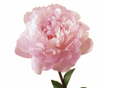 Peony flower png. Meaning symbolism teleflora