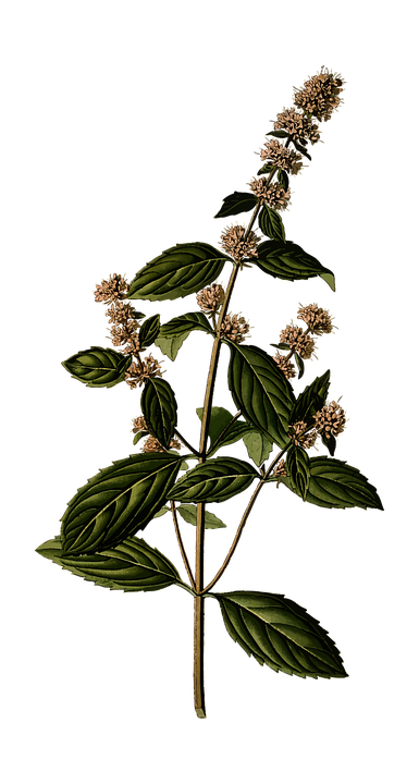 Peppermint drawing mentha piperita