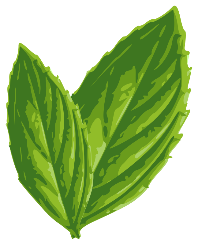 Peppermint drawing mint leaf. Vector transparent download