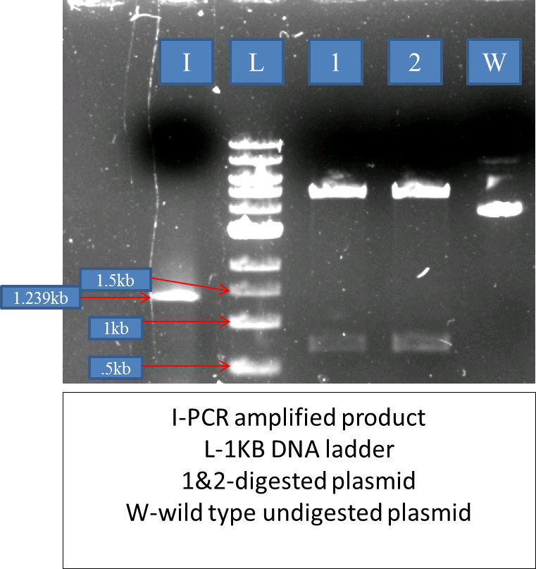 Pet28 vector plasmid. Why non specific band