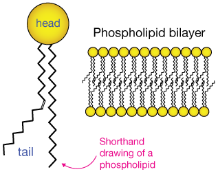 Lipids membranes dont look. Phospholipid drawing clipart royalty free download