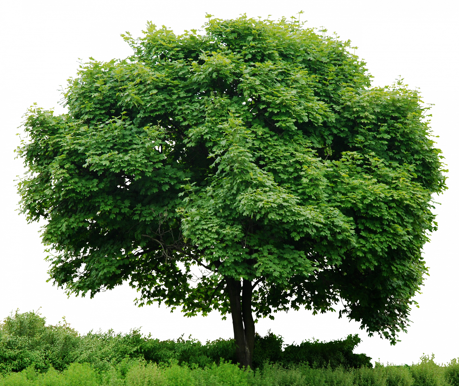 Group of trees png. Tree image stock without
