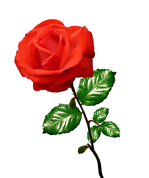 Picture clipart rose. Red long stalk