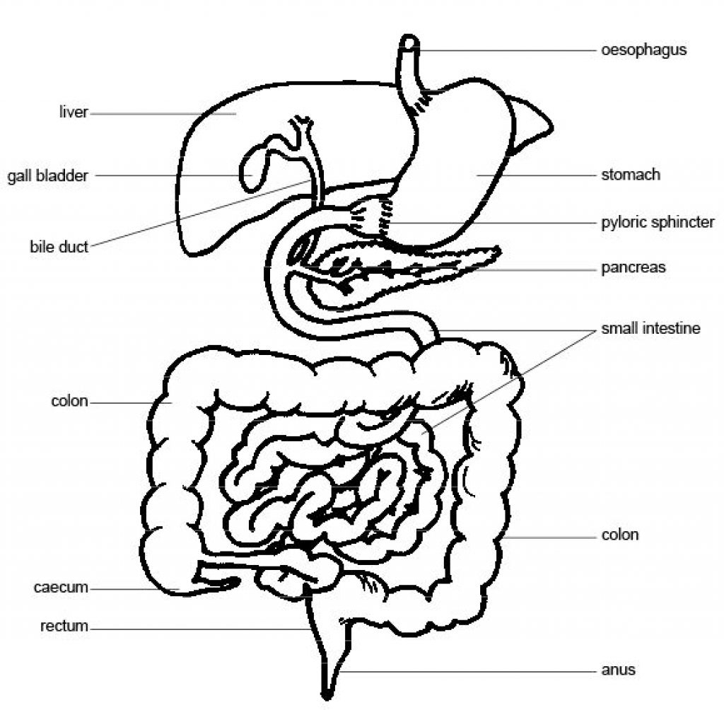 Pig clip art fetal pig. Digestive system labeled black
