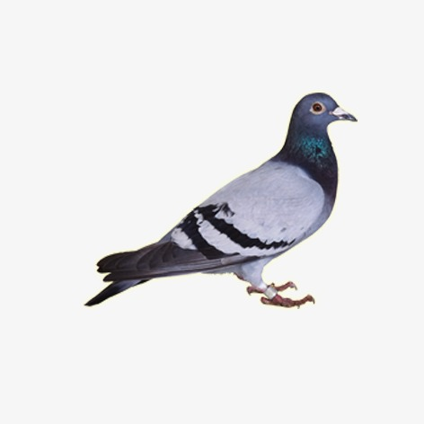 Animal png and psd. Pigeon clipart pigen banner free