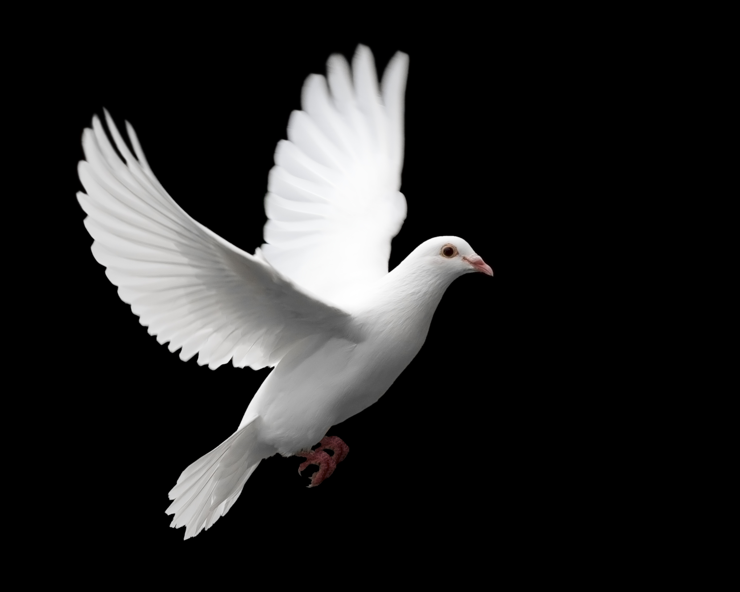 Pigeon clipart small dove. Flying free images at