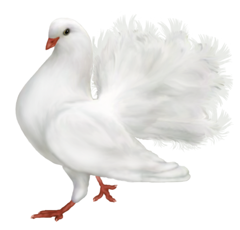 Pigeon clipart small dove. White romantic png gallery