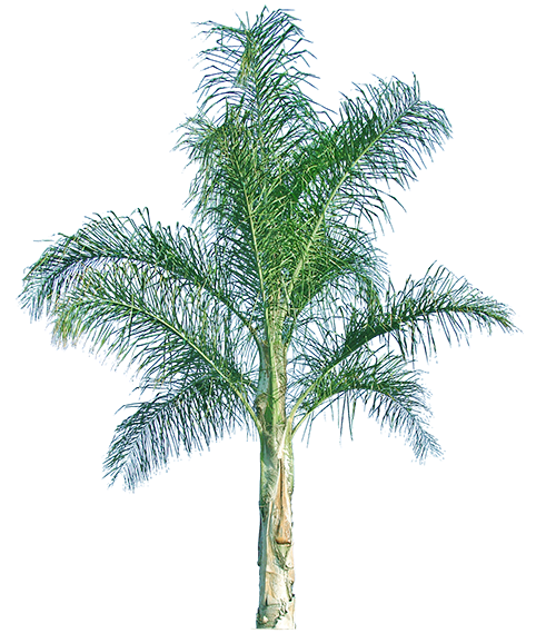 Pigmy palm png. Backyard builder piru queen