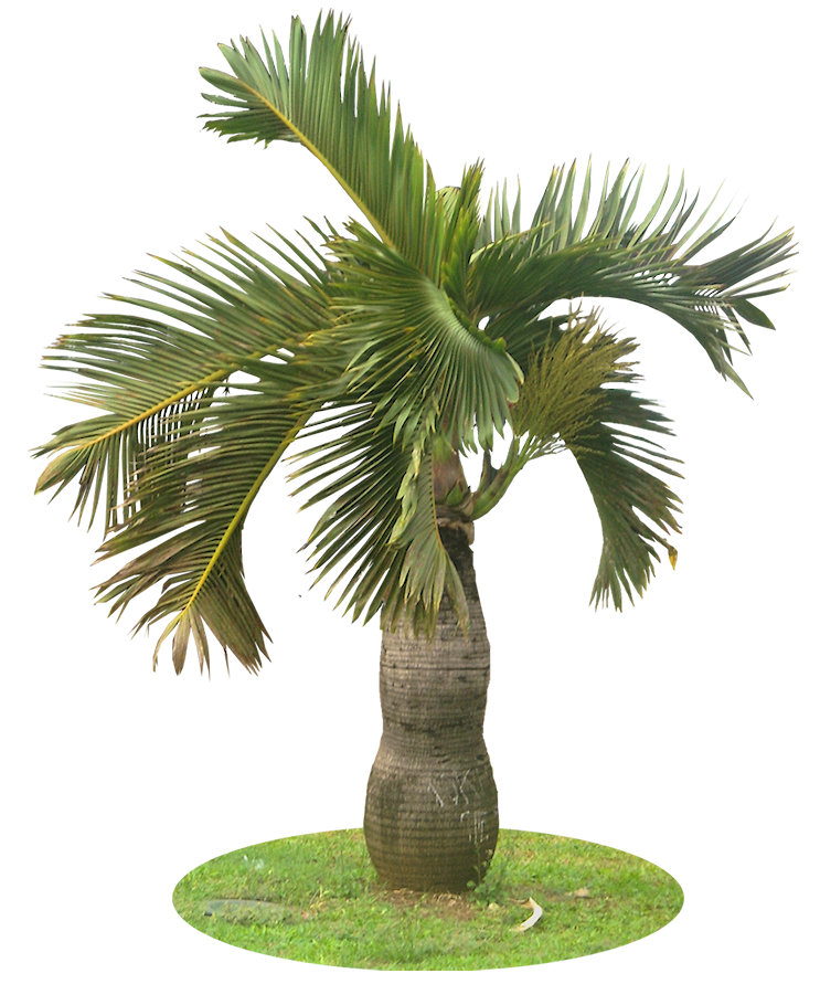 Pigmy palm png. A collection of tropical