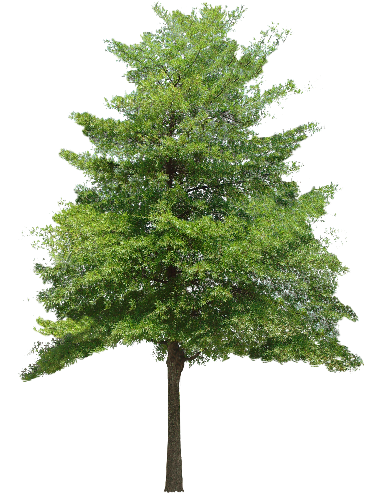 Pin oak png. Tree hd transparent images