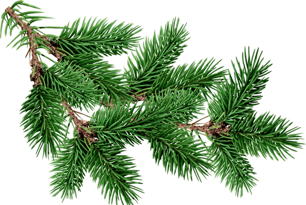 Pine tree branches png. Branch fir photos