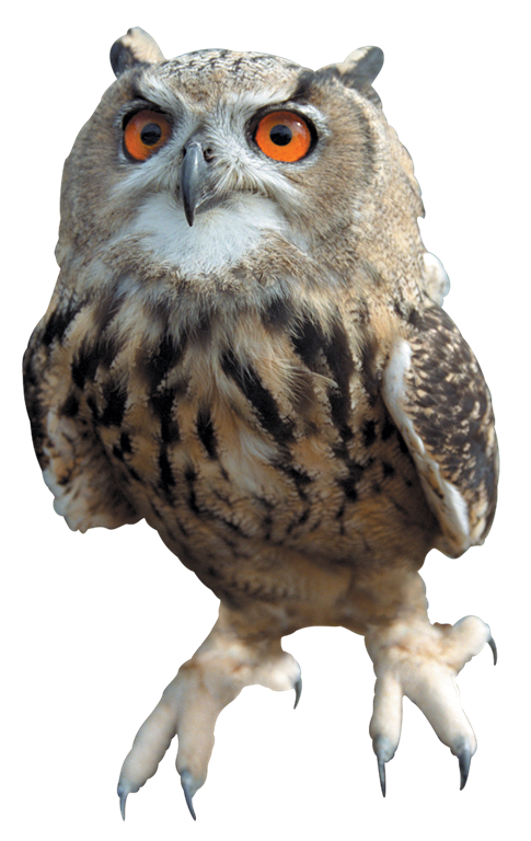 Pine branch owl png. Download free hq image