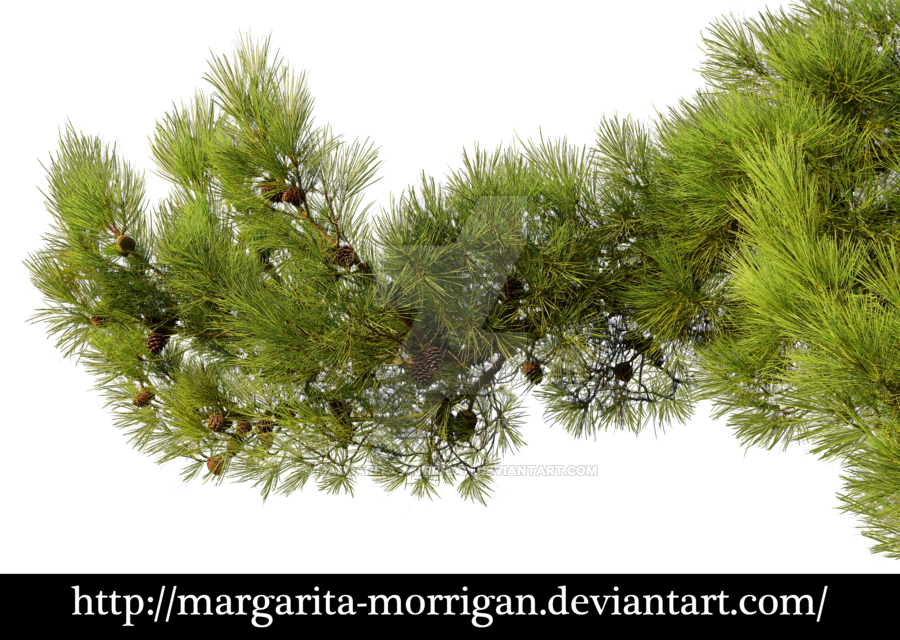 Pine tree branches png. Branch by margarita morrigan