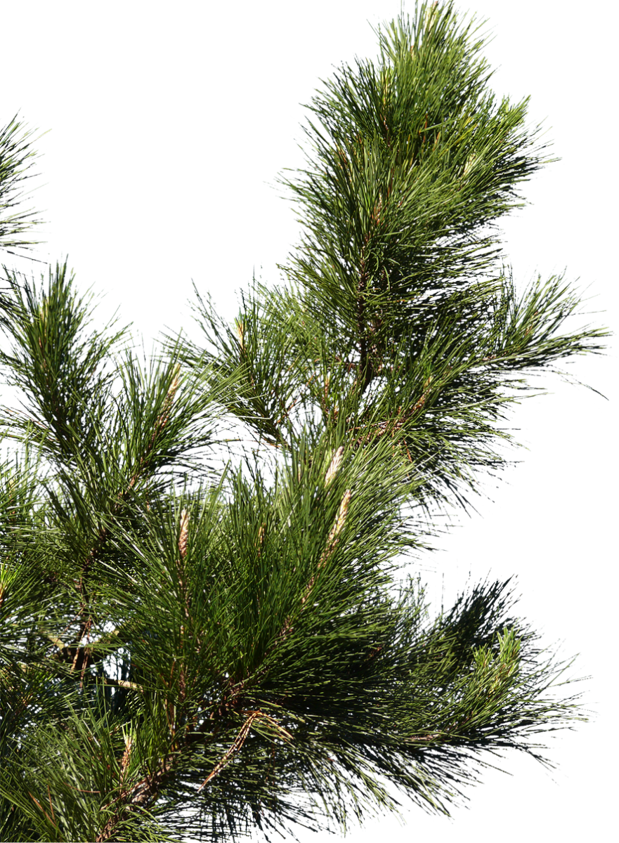 Pine branch png. Free texture download by