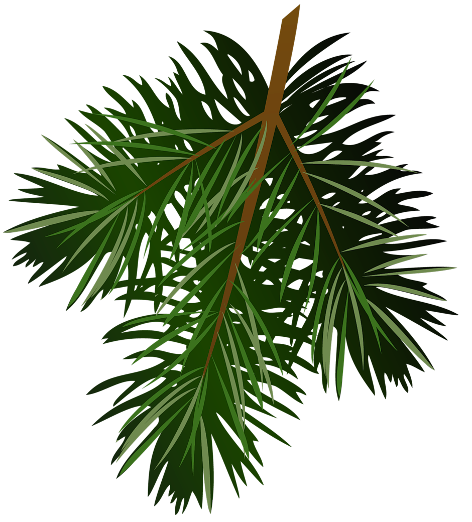 Twig drawing longleaf pine. Transparent branch png picture