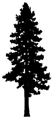 Pine clipart fine tree. Eastern white drawing google