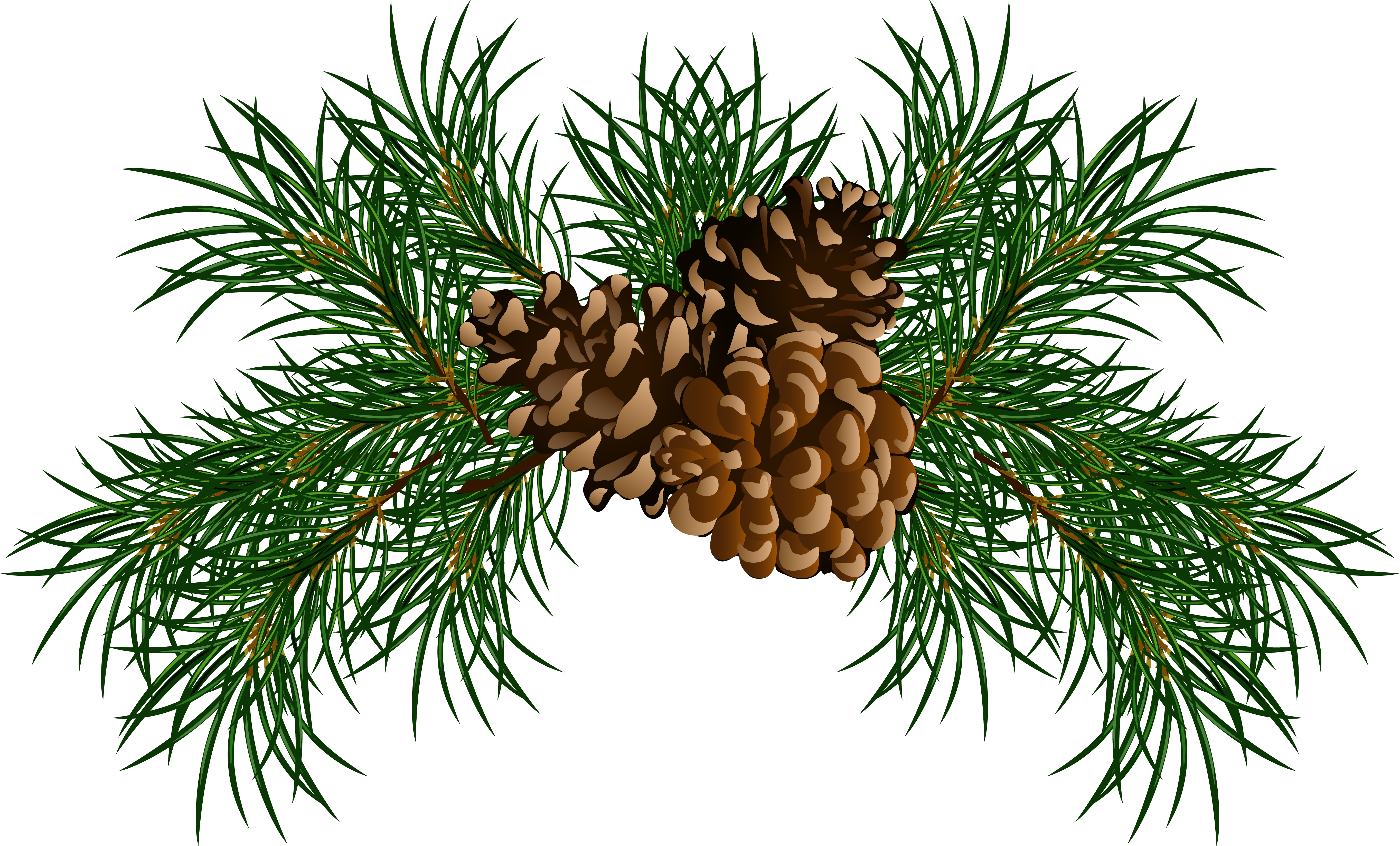 Pine cone branch png. Branches with cones picture