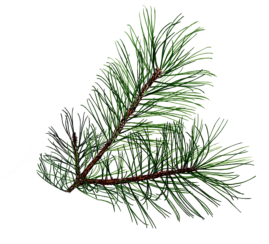 pine drawing tree