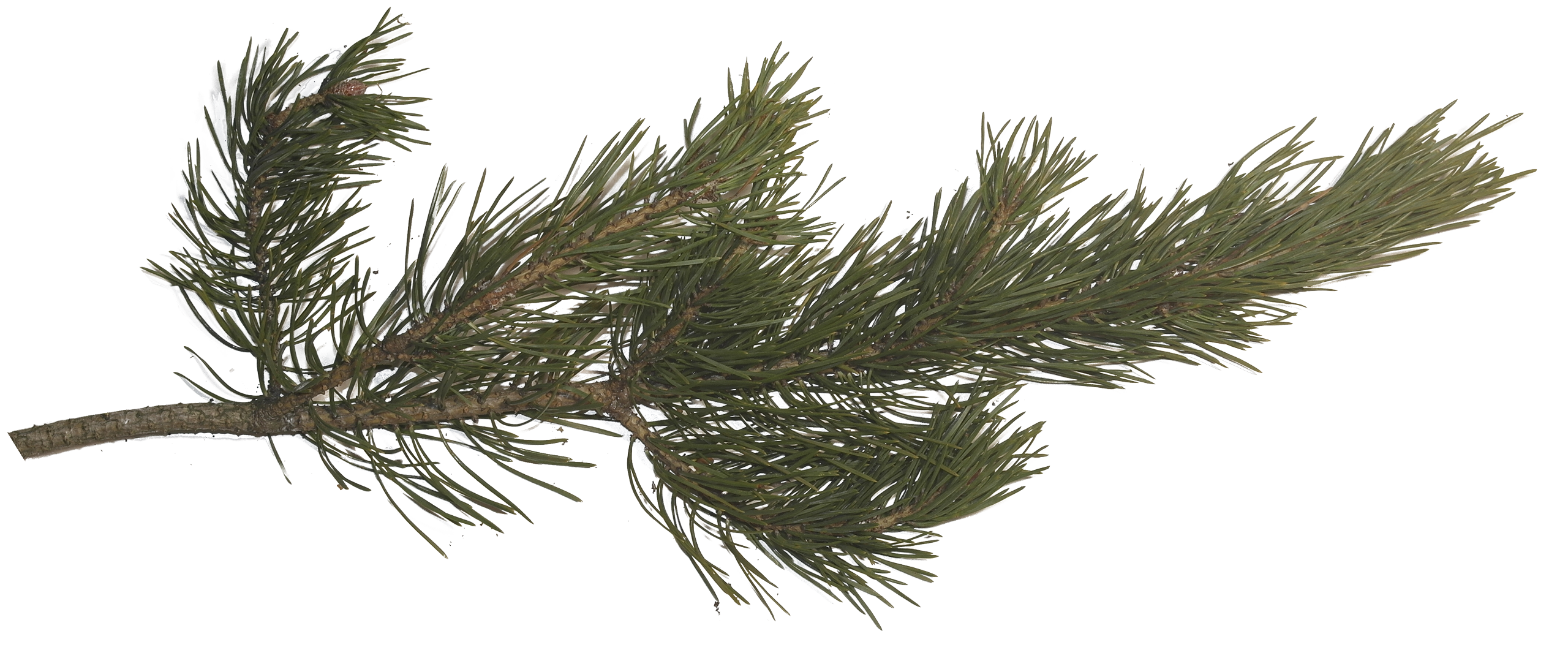 Pine tree texture png. Fir spruce branch cone