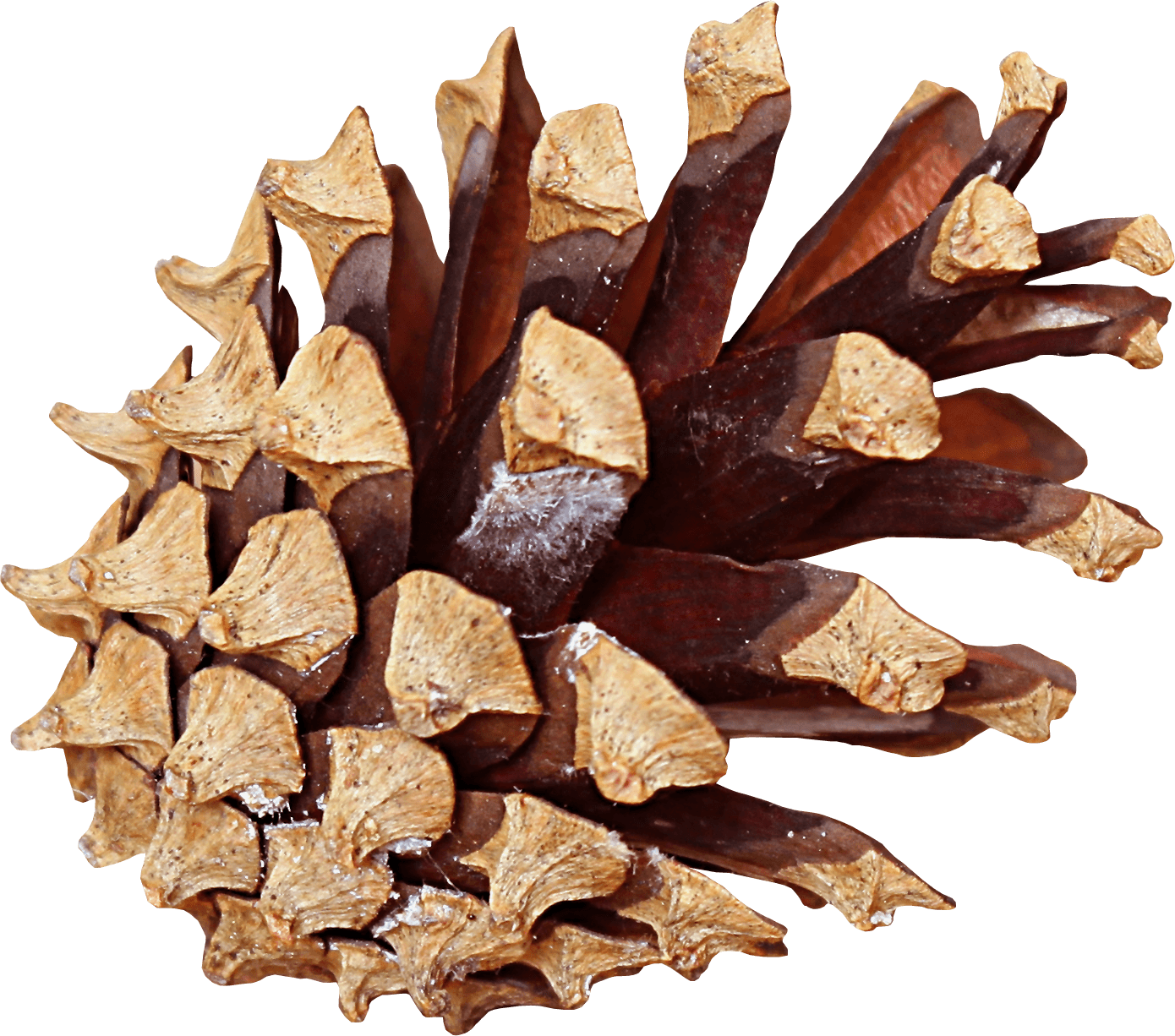 Pine cones png. Cone side transparent stickpng