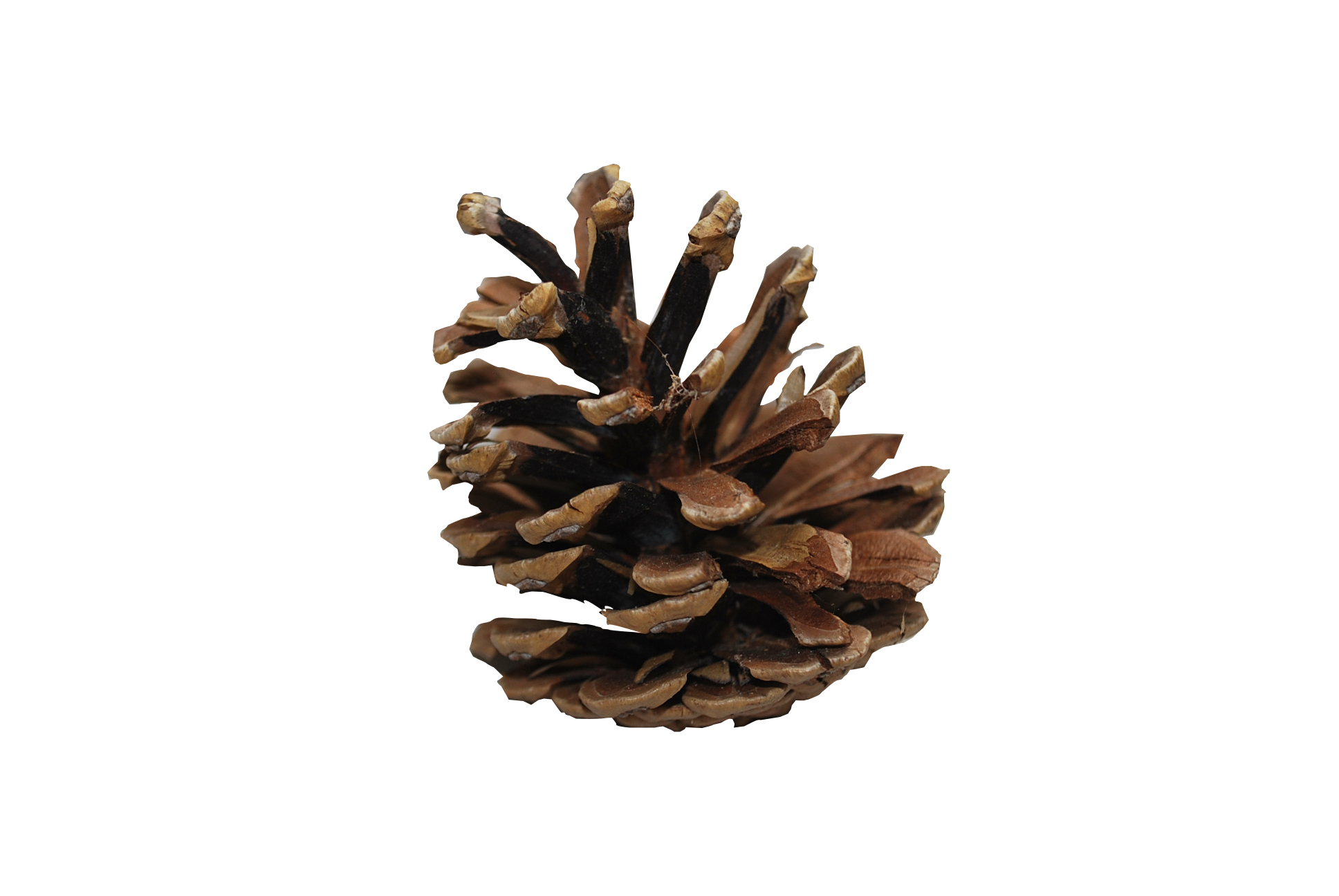 Pine cones png. Cone image free download