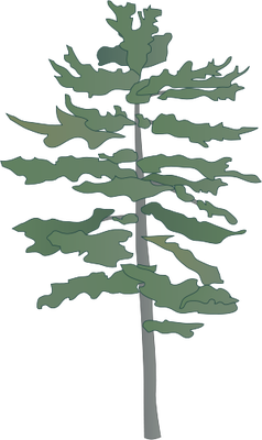 Pinetree vector eastern white pine. Tree drawing trees treesshrubsvines