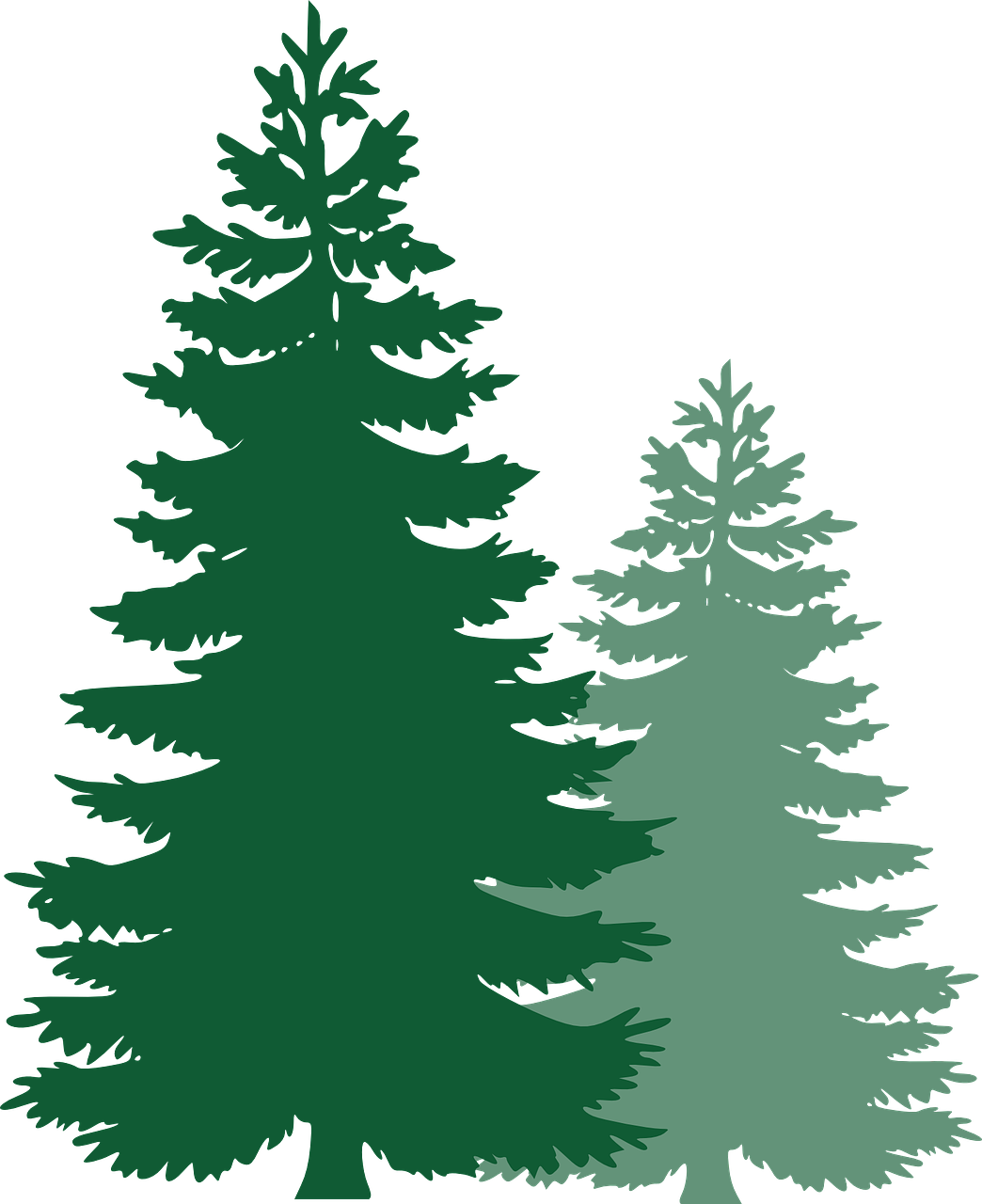 Pine drawing pain. Forest trees spruce evergreen