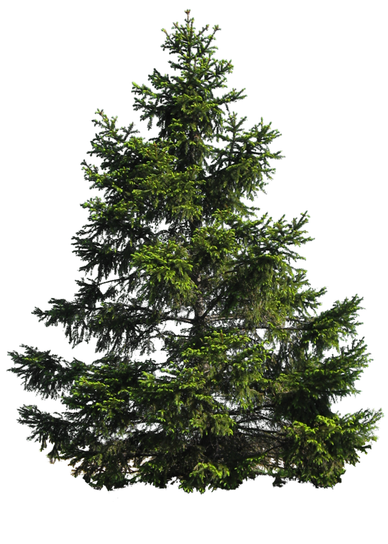 Pine evergreen branch png transparent background. Tree by moonglowlilly on