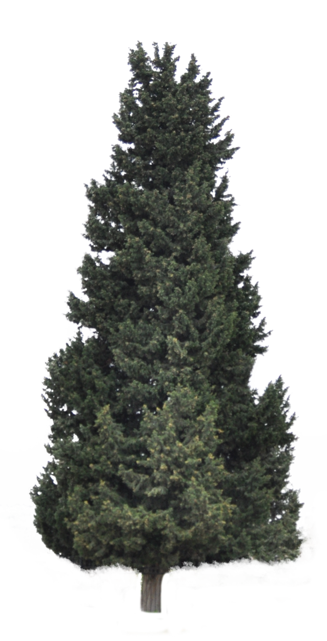 Pine forest png. Coniferous tree for background