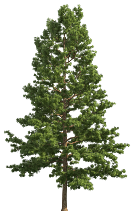Realistic tree clip art. Pine forest png library
