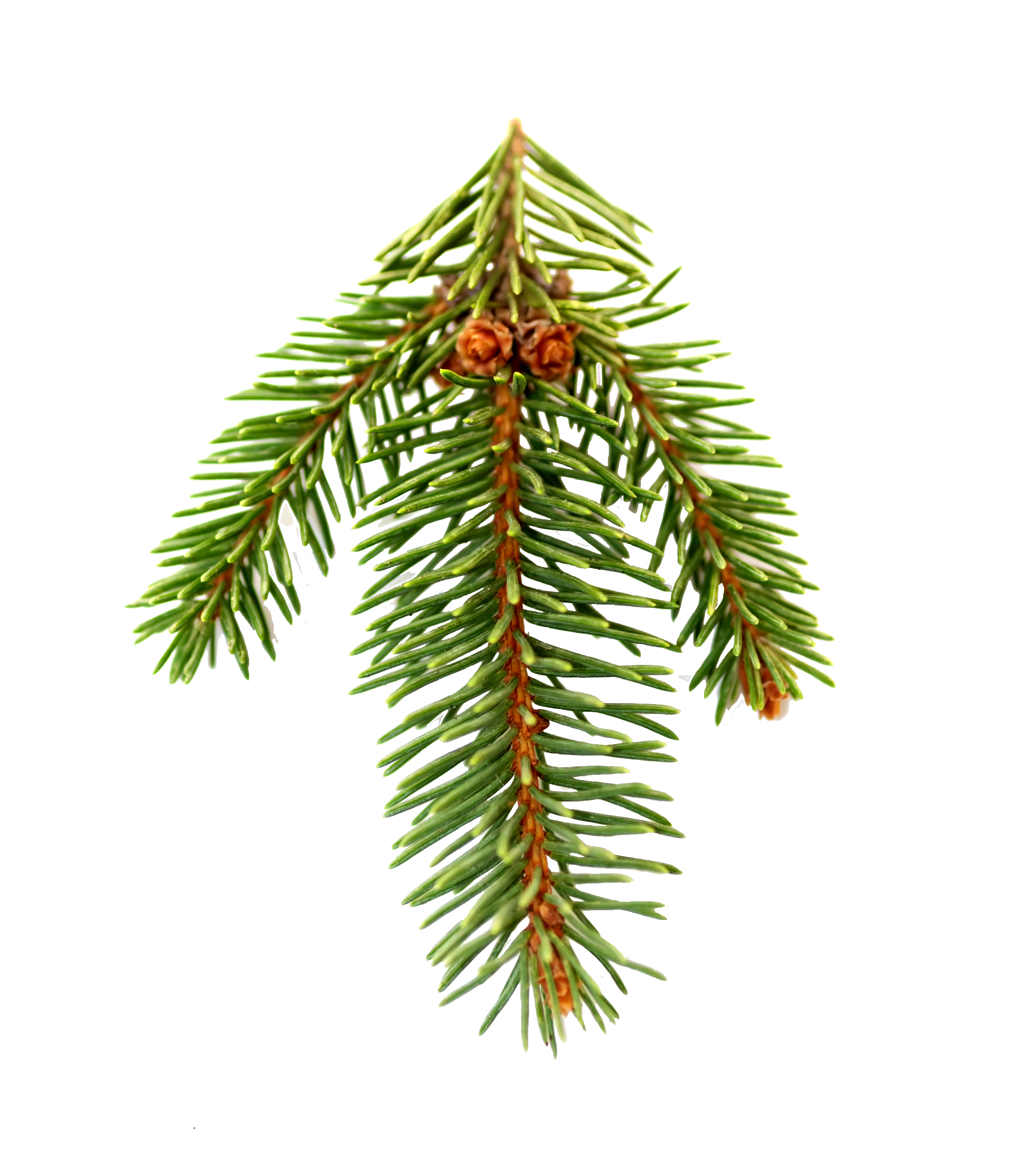 pine straw png