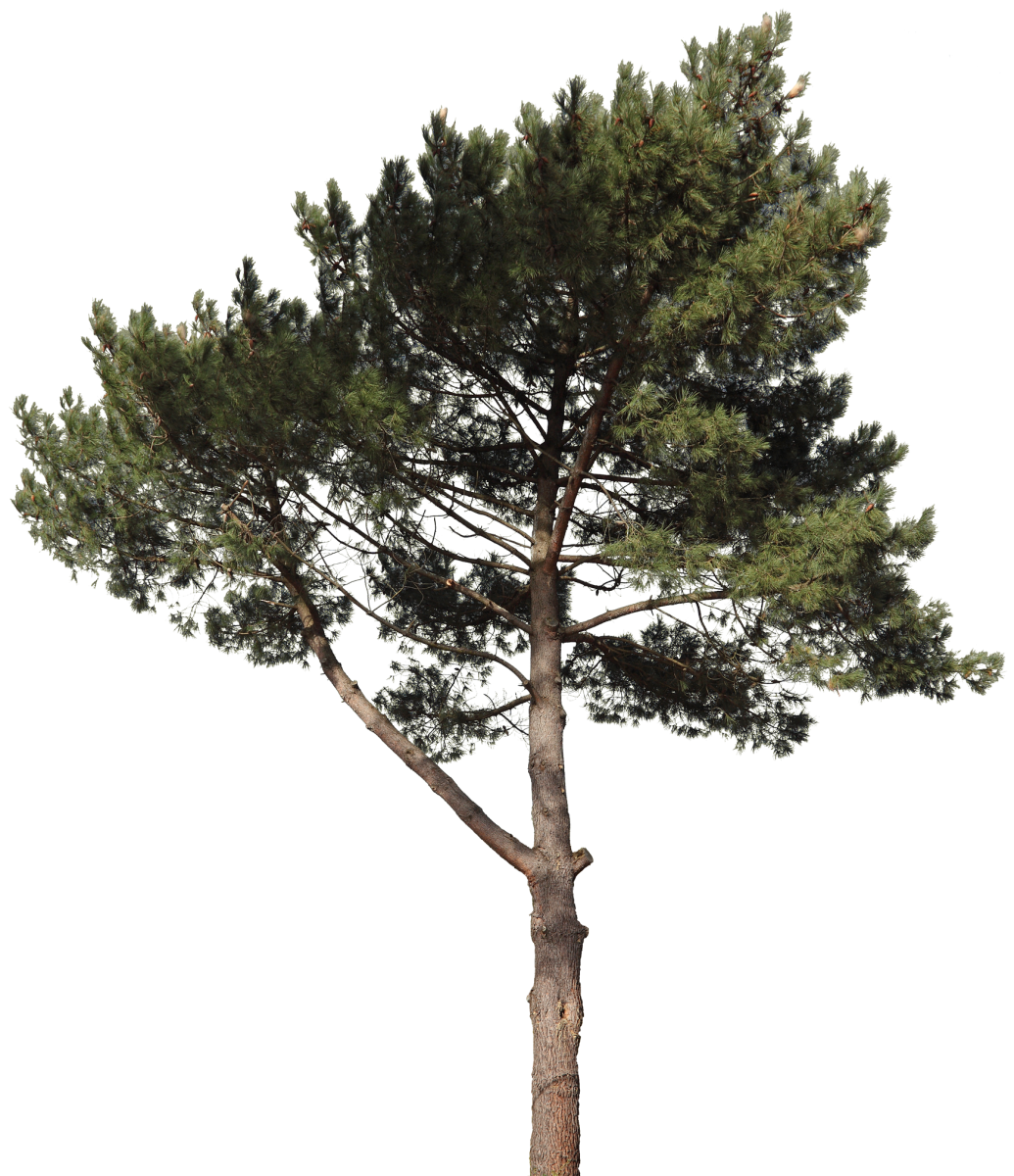 Pine png. Free texture download by