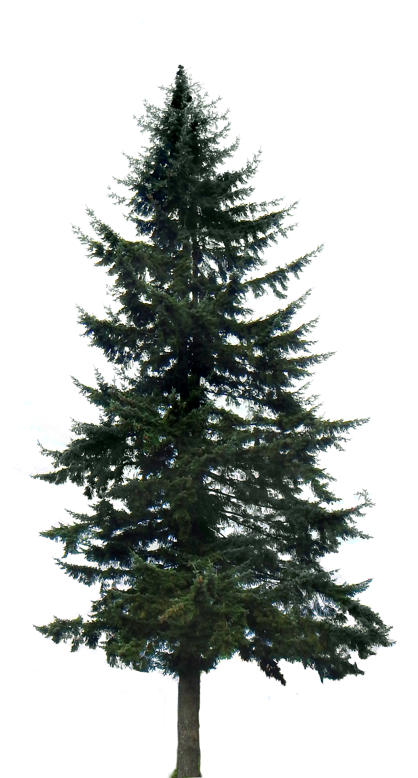 Long needle pine tree png. Image big over the