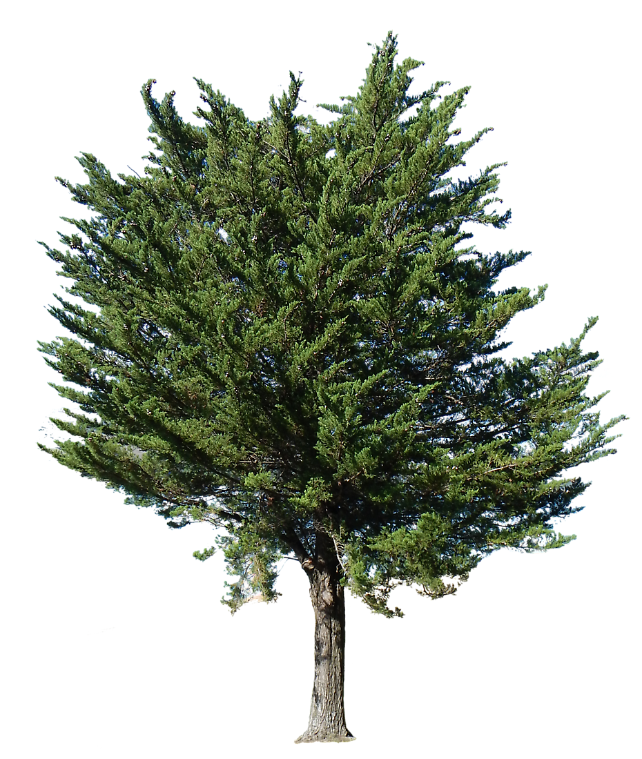Pine tree texture png. Free transparent alpha trees