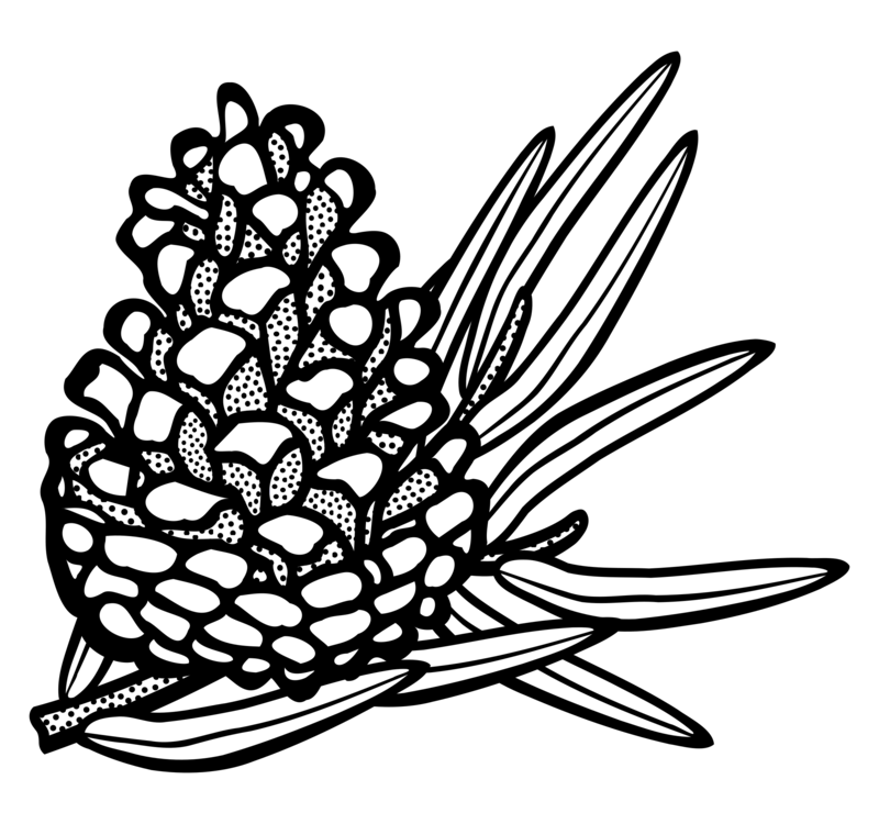 Pine drawing clip art. Conifer cone eastern white