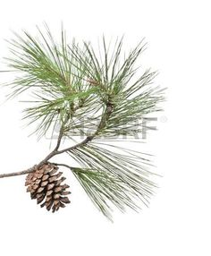 Pinecone clipart eastern white pine. Pin by robin woodel