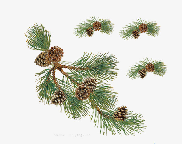 Pinecone clipart greenery. Free to pull the