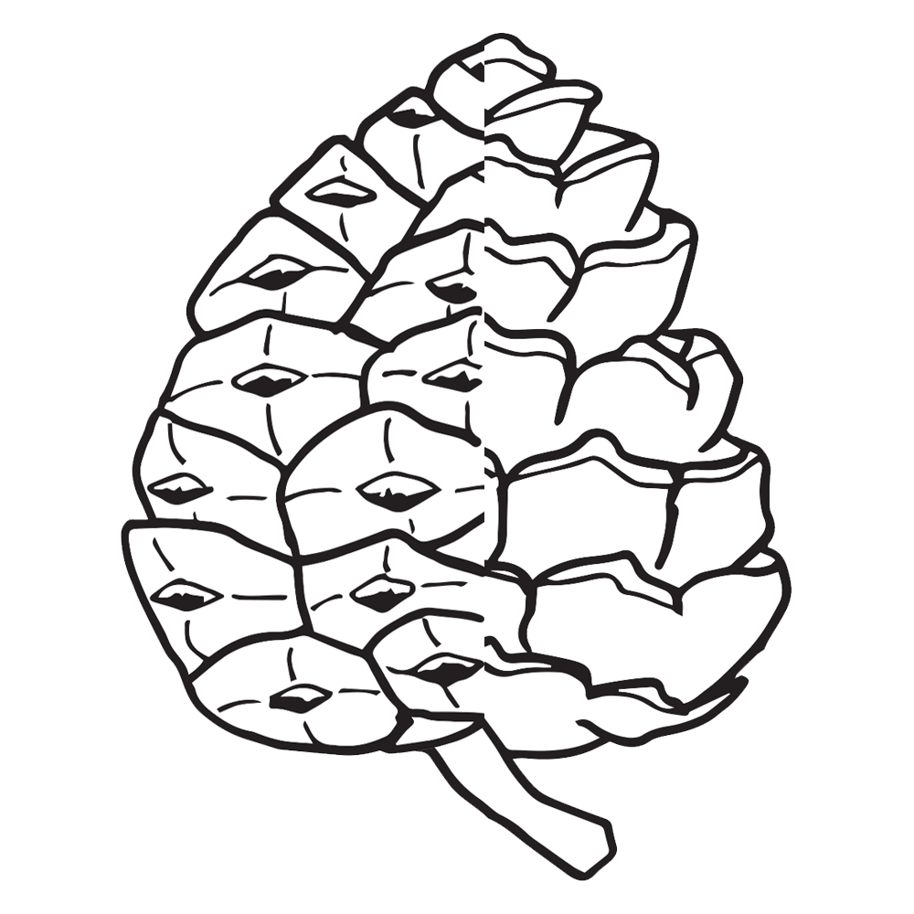 Pinecone clipart pine leaves. Cone worksheets homeschool