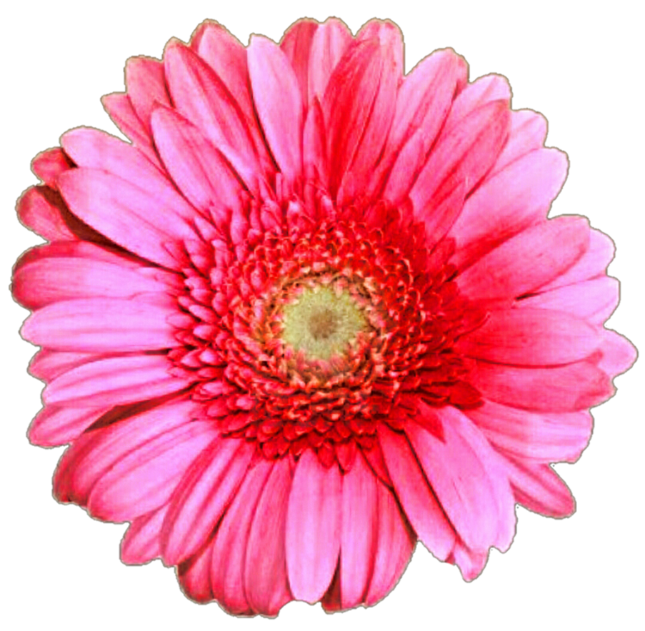Pink daisy png. Gerber by jeanicebartzen on