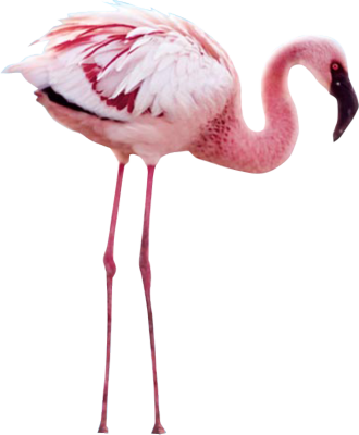 Flamingo transparent real. Png images free download