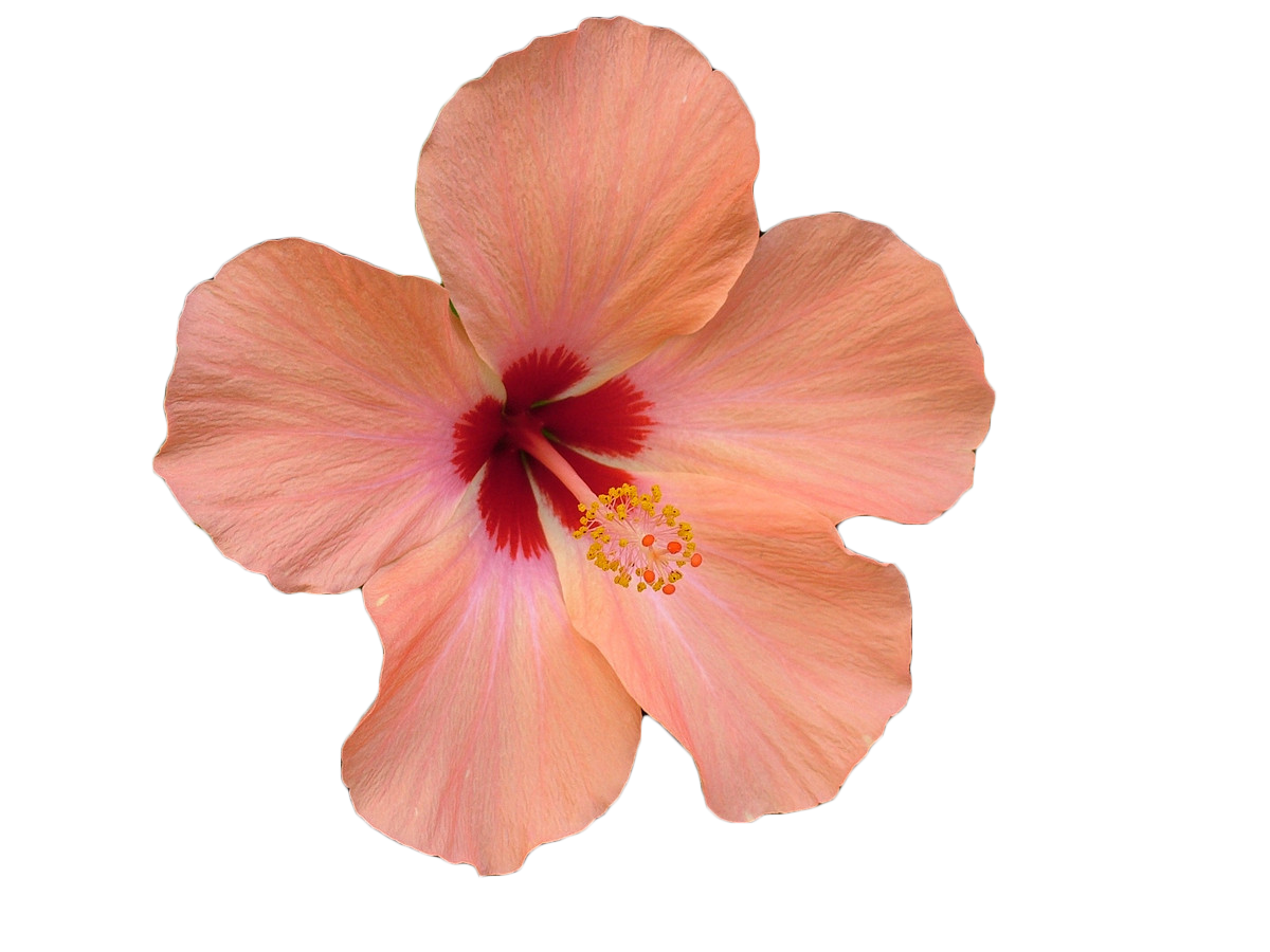 Pink hibiscus flower png. Stock photography xchng clip