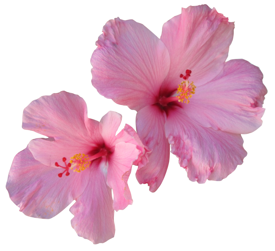 Pink hibiscus flower png. By owhl stock on