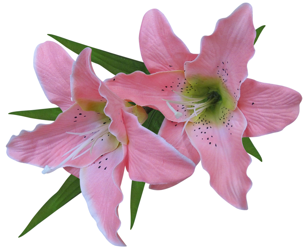 Pink lily png. Transparent flower clipart gallery