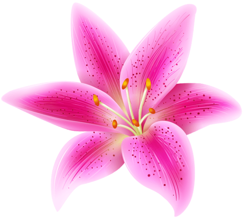 Lily transparent pink. Flower png free images