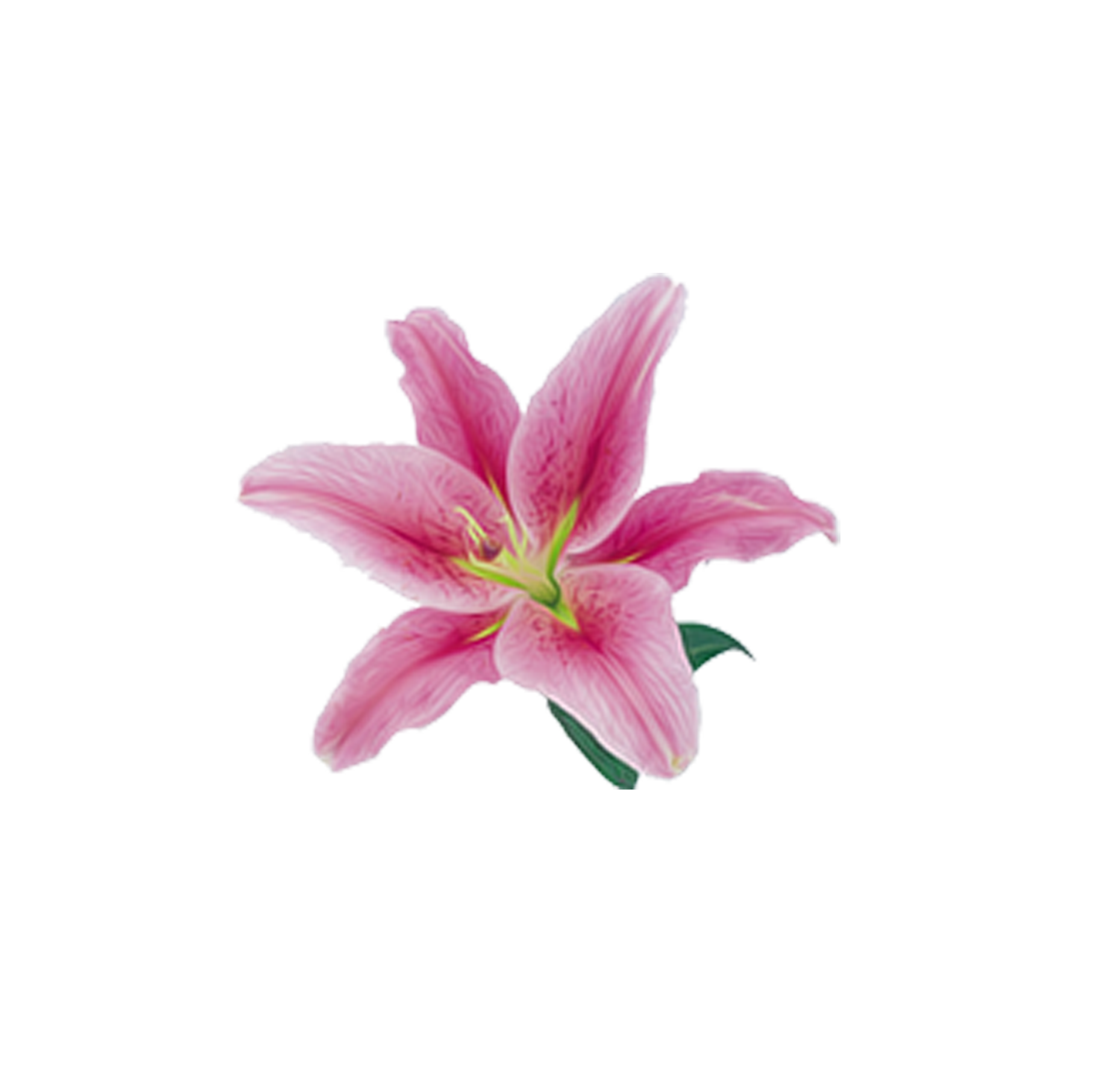Pink lily png. Lilium flower beautiful decorative