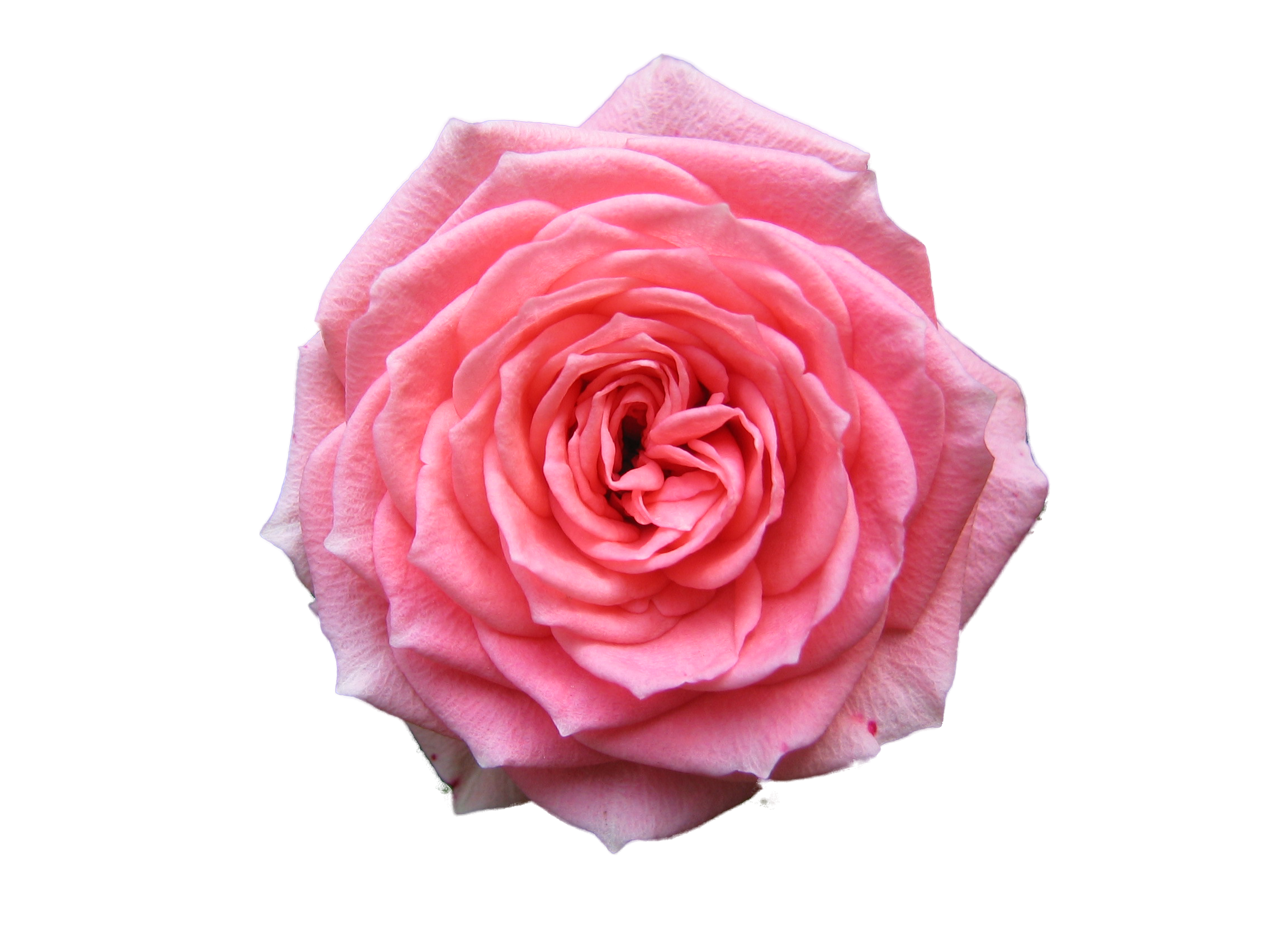 Tea rose png. Pink photo mart