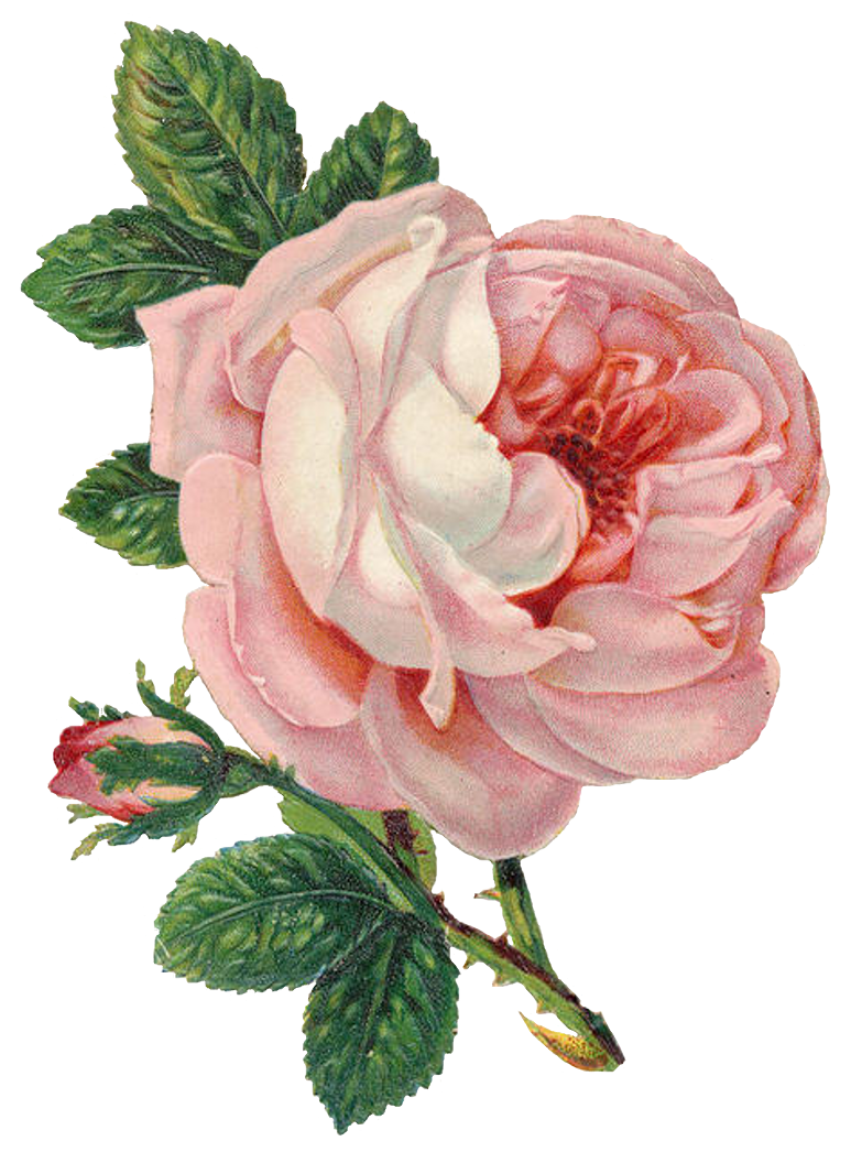 Pink roses vintage png. Can never have to
