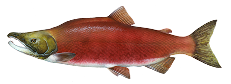 Sockeye salmon png. Best canned april reviews