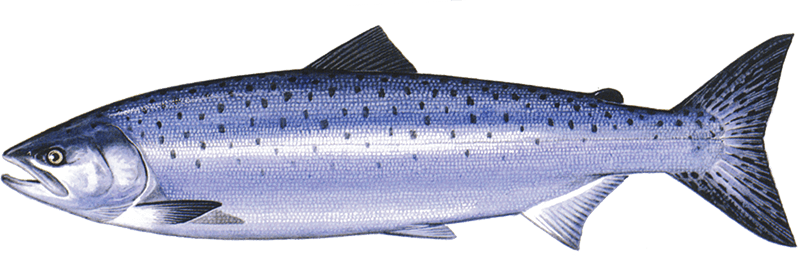 pacific salmon png